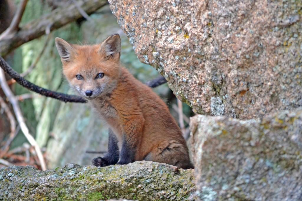 fox-1031693_1920