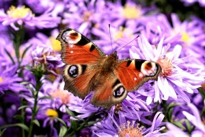 peacock-butterfly-981142_1280